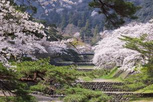 満開を迎えた養老公園の桜の写真素材 [FYI04293011]
