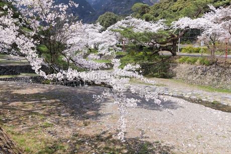 満開を迎えた養老公園の桜の写真素材 [FYI04293014]