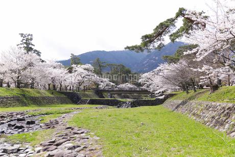 満開を迎えた養老公園の桜の写真素材 [FYI04293022]