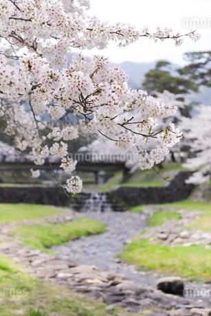 満開を迎えた養老公園の桜の写真素材 [FYI04293024]
