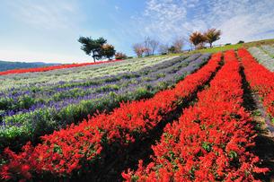 カラフルな花畑の写真素材 [FYI04293143]