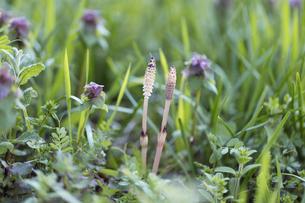 野原のツクシとヒメオドリコソウの写真素材 [FYI04293152]