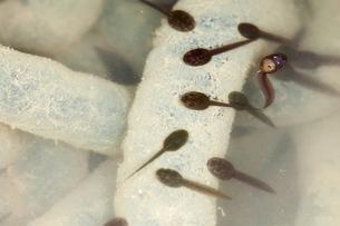アズマヒキガエルの卵塊とオタマジャクシの写真素材 [FYI04293181]