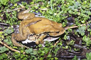 夜間に産卵場所に向かうアズマヒキガエルの写真素材 [FYI04293189]