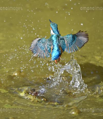 カワセミの水浴びの写真素材 [FYI04293270]