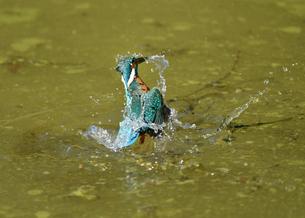 カワセミの水浴びの写真素材 [FYI04293272]