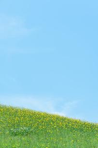 黄色い花咲く草原と青空の写真素材 [FYI04293495]