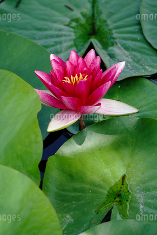 蓮の花の写真素材 [FYI04293674]