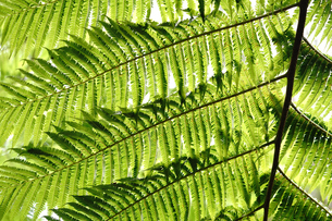 シダ植物の写真素材 [FYI04293677]