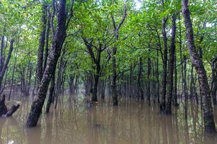 マングローブの森の写真素材 [FYI04293678]