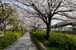 大阪,毛馬桜の宮公園,満開の桜並木の写真素材 [FYI04293854]