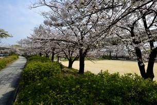 大阪,毛馬桜の宮公園,満開の桜並木の写真素材 [FYI04293856]