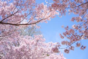 青空と満開の桜の写真素材 [FYI04293903]
