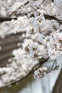 桜の写真素材 [FYI04294169]