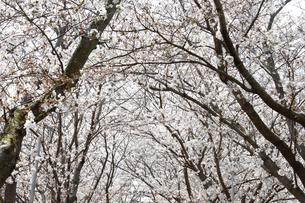 桜並木の写真素材 [FYI04294170]