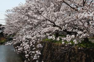 桜並木の写真素材 [FYI04294172]