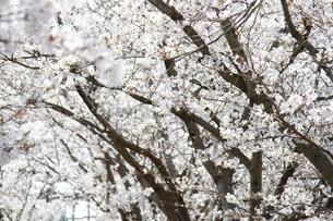 桜並木の写真素材 [FYI04294174]