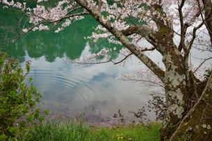 亀池公園の桜の写真素材 [FYI04294175]