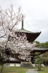 根来寺 桜の写真素材 [FYI04294177]