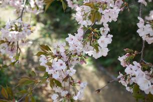 葉桜の写真素材 [FYI04294179]