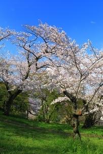 三室山と桜の写真素材 [FYI04294334]