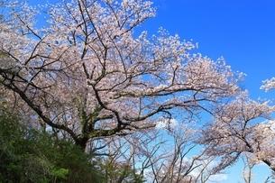 三室山と桜の写真素材 [FYI04294342]