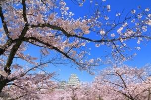 姫路城と桜の写真素材 [FYI04294384]