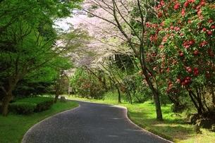 葛城山麓公園のシャクナゲと桜の写真素材 [FYI04294393]