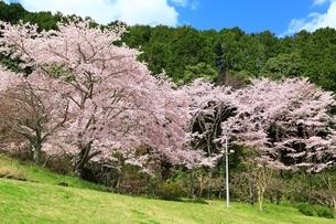 葛城山麓公園と桜の写真素材 [FYI04294397]