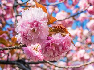 八重桜2の写真素材 [FYI04294558]