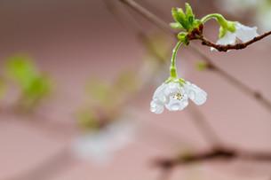 マメ桜の写真素材 [FYI04294566]