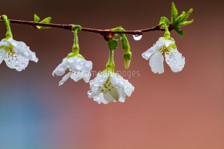 マメ桜の写真素材 [FYI04294567]