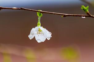 マメ桜の写真素材 [FYI04294568]