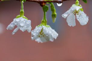 マメ桜の写真素材 [FYI04294569]