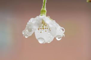 マメ桜の写真素材 [FYI04294570]