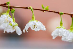 マメ桜の写真素材 [FYI04294571]