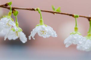 マメ桜の写真素材 [FYI04294572]