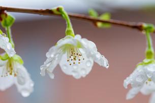 マメ桜の写真素材 [FYI04294574]