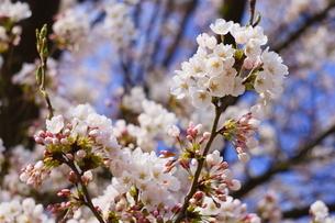 青空に咲く桜の写真素材 [FYI04294591]