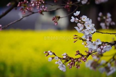 満開の菜の花を背景に咲く、桜の写真素材 [FYI04294593]