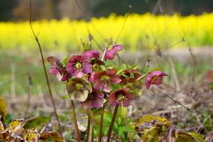 満開の菜の花を背景に咲く赤紫色のクリスマスローズの写真素材 [FYI04294600]