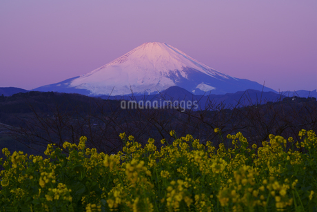朝焼けの富士山と菜の花畑の写真素材 [FYI04294635]