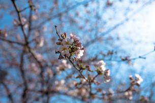 桜の写真素材 [FYI04294772]