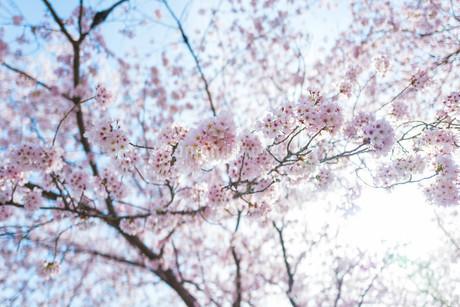 桜の写真素材 [FYI04294775]
