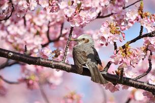 河津桜のヒヨドリの写真素材 [FYI04294849]