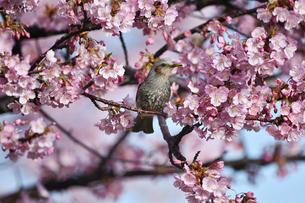 河津桜のヒヨドリの写真素材 [FYI04294851]