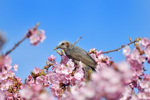 河津桜のヒヨドリの写真素材 [FYI04294853]