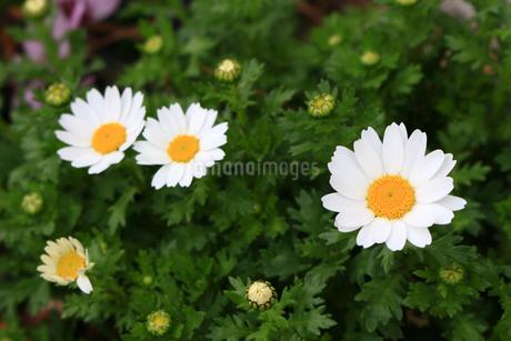 春の花壇に咲き始めたマーガレットの花々の写真素材 [FYI04295101]