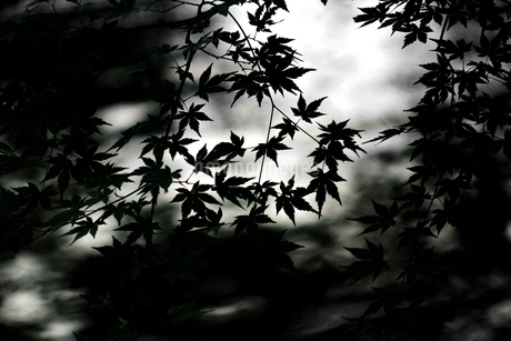 湖面に反射する日差しの逆光でシルエットを描く水辺のカエデの葉の写真素材 [FYI04295103]