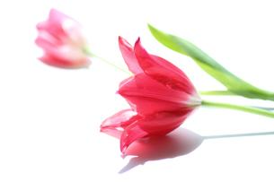 春の光いっぱいのチューリップの写真素材 [FYI04295126]